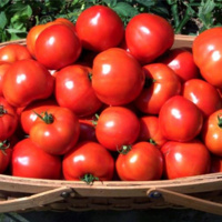 CANCELLED Growing Tomatoes