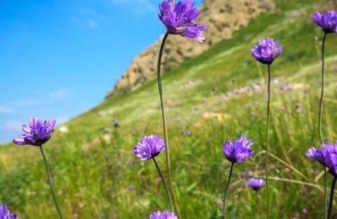 Purple flowers on green hillside