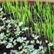 Growing Microgreens at Home: A Hands-On Workshop