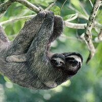 Brown-throated three-toed sloths, Panama