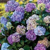 Local Hydrangeas Workshop