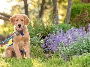 Canine Companions for Independence Assistance dog in training