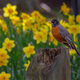 Robin sitting on tree stump with daffodils behind