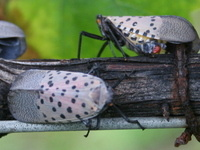 Adult Spotted Lanternflies on a grapevine.