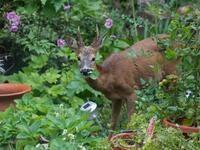 Gardening with Deer with Joy Flynn, Master Gardener, Cornell Cooperative Extension