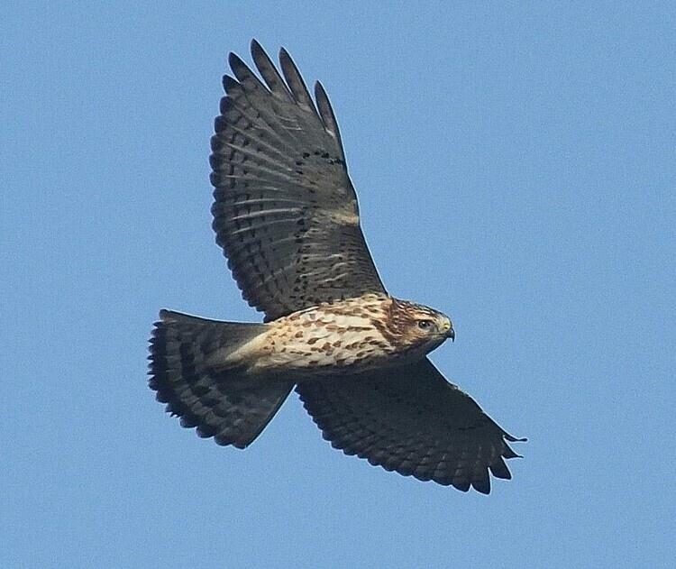 Broad-winged Hawk in flight