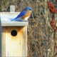 Get free your bluebird box today!
