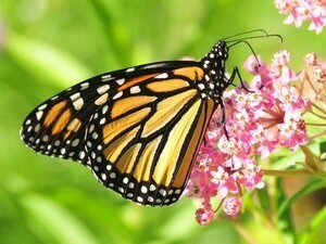 Monarch Butterflies Find Sanctuary at Halsey House