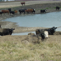 Water contaminents can affect cattle health