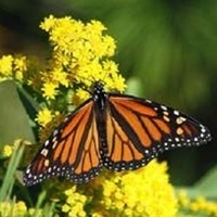 Monarch Butterfly, the 'Rock Star' of the Insect World