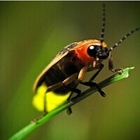 Fireflies of Pennsylvania