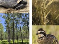 Longleaf Flora and Fauna Webinar Series
