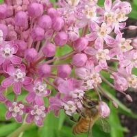 Swamp Milkweed--Photo credit M. Zoehrer
