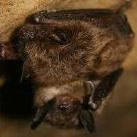 Bats! at Boyd