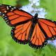 Monarchs & Milkweed
