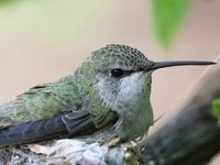 Costa's Hummingbird, Mariah Letowt, Cornell Lab