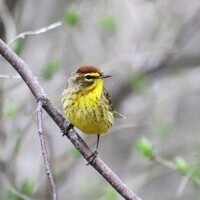 Confusing Fall Warblers