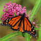 Virtual: Migrating Monarchs for Girl Scouts