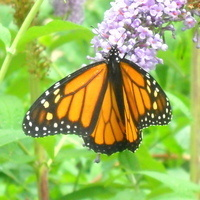 Home School Day: Monarchs and Migration
