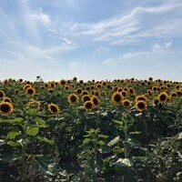 Pick Your Own Sunflowers