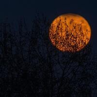 A large, orange moon rising behind some trees