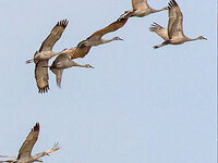Sandhill Cranes, Kristine Grumme, courtesy Cornell Lab of Ornithology