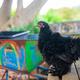 Backyard Chickens Q&A