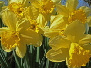 Daffodils to be planted along Taughannock Blvd