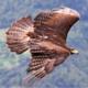 Virtual: Raptor Migration
