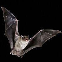 Bats 'Nat