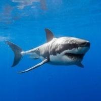 A Shark's Navigational System