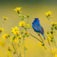 Blue Bird in a field with yellow flowers