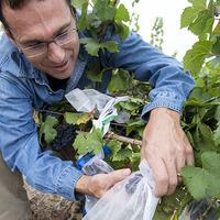 OSU Grape Red Blotch Disease Webinar Series: Dr. Vaughn Walton