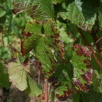 OSU Grape Red Blotch Disease Webinar Series: Red Blotch Study Team
