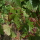 OSU Grape Red Blotch Disease Webinar Series: Red Blotch Study Team