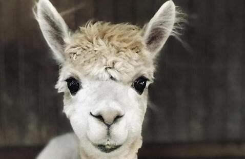 Alpaca Barn Tours