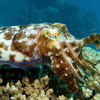 Lunch Break Science - The Flamboyant Cuttlefish