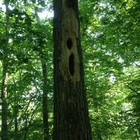 Pileated Woodpecker Nest at WCCP (photo: gms)