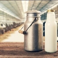 Milk bottle in front of dairy cows in a barn