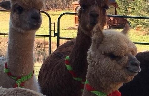 Holiday Open Farm Days at Shepherd's Creek Alpacas!