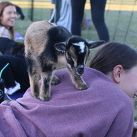 Happy Hour: Goat Yoga