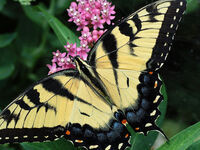 Lunch & Learn with Clemson Extension: Butterfly Gardening