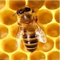 Honeybee Challenge Workshop via Zoom
