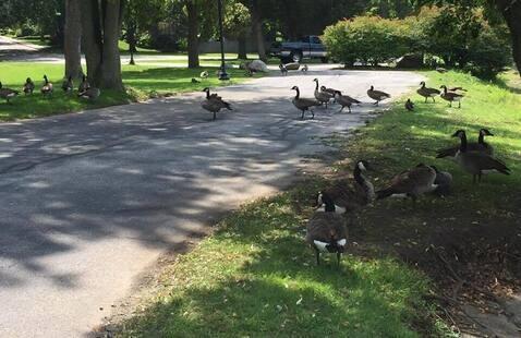 Canada geese on sidewalk