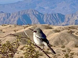 Birding Walk-About, Desert Willow