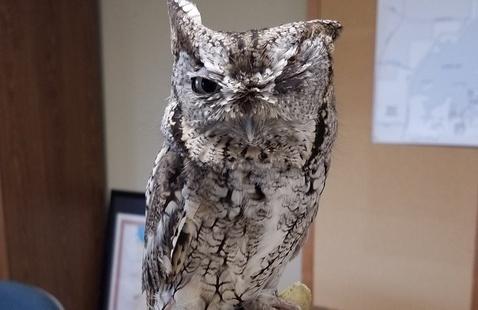 Screech Owl Ambassador