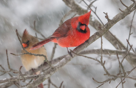 male and female cardinal in a tree