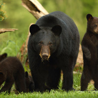 Virtual Lunchtime Lecture: Black Bears