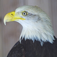 Nature Virtual Lectures: The American Bald Eagle Foundation