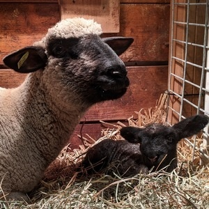 LAMBING AND KIDDING WITH DR. KEVIN PELZER, DVM, MPVM, DIPLOMATE, ACVPM